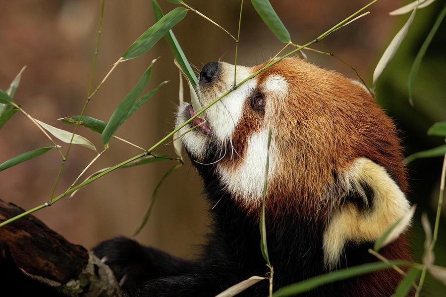 Adorable Panda Photograph