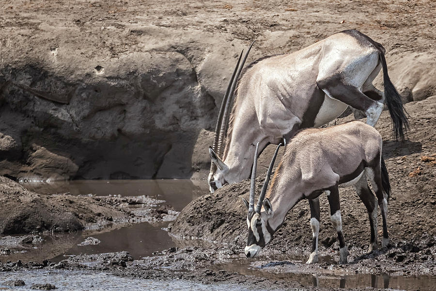 Adult and Juvenile Oryx by Belinda Greb
