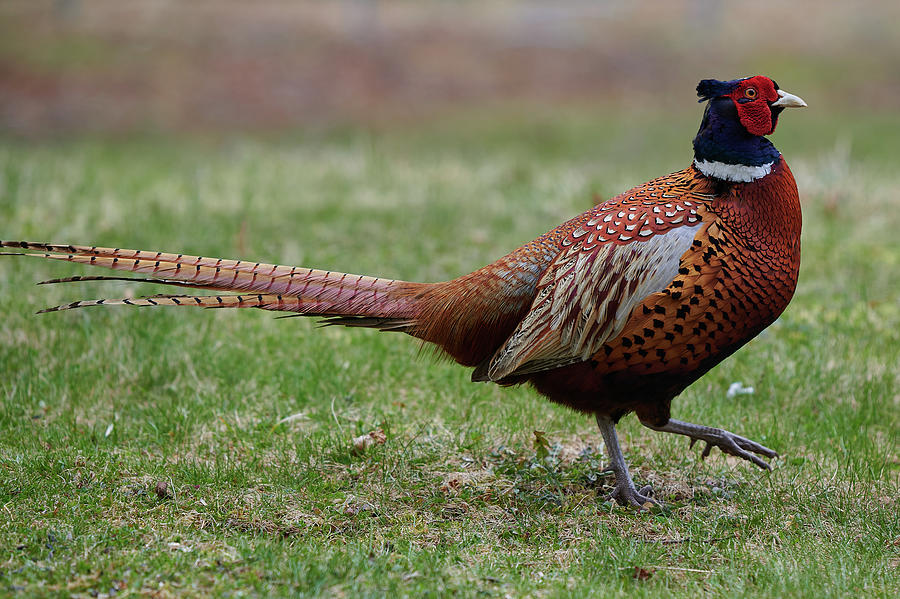Ring Photograph - Adult male ring-necked pheasant by Curtis Patterson