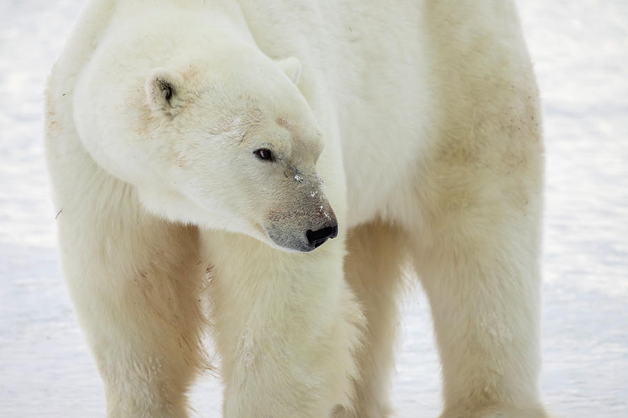 Adult polar bear close up by Karen Foley