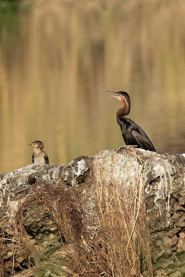 African Darter and Chick, No. 1 by Belinda Greb