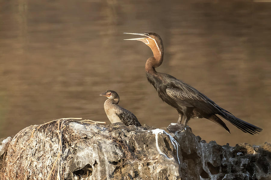 African Darter and Chick, No. 2 by Belinda Greb