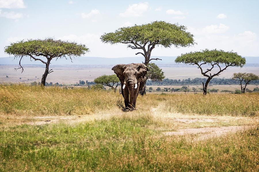 African Elephant Bull in Kenya Africa Acacia Tree Field by Susan Schmitz