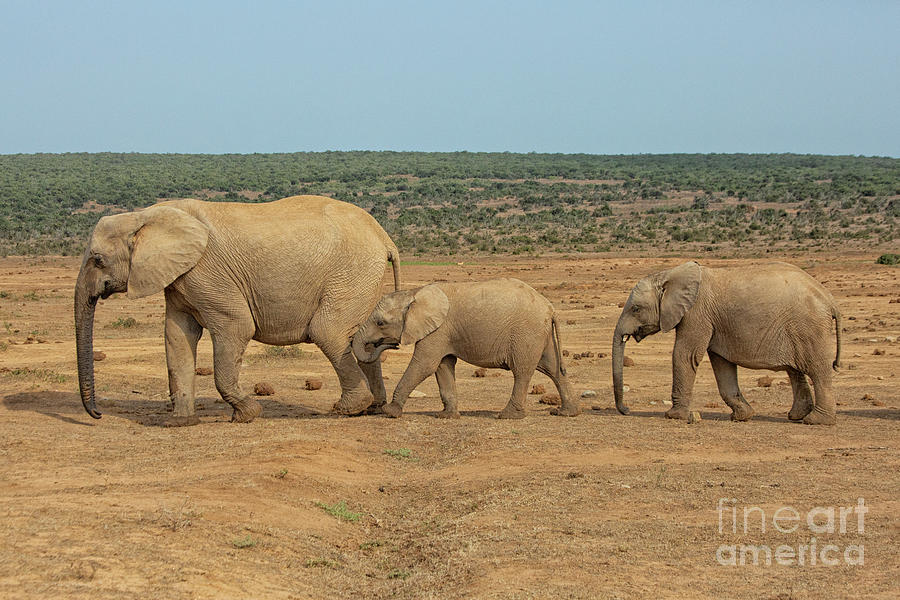 African elephant family in a row in South Africa by Patricia Hofmeester