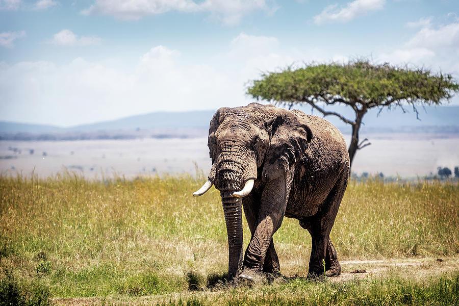 African Elephant in Kenya by Susan Schmitz