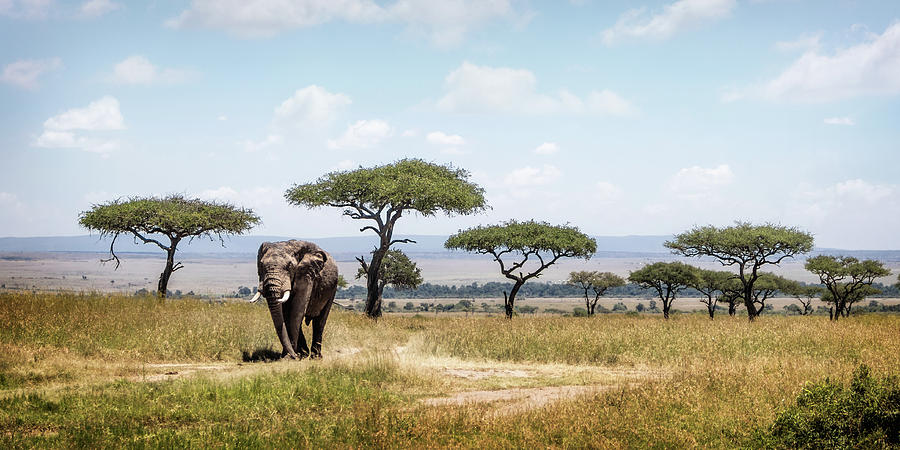 African Elephant in the Mara Triangle by Susan Schmitz