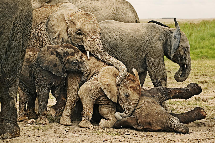 African Elephants, Loxodonta africana. Calves lie down to sleep while others attempt to play with sleeping individual. Amboseli National Park Kenya. Dist. Sub-saharan Africa Photograph by Martin Harvey