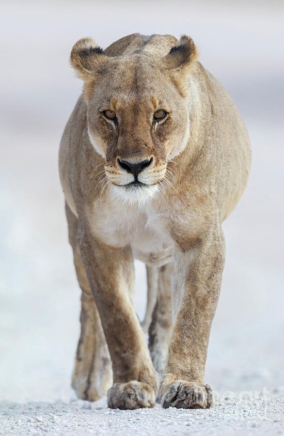 Adult Photograph - African Lioness by Bart Breet