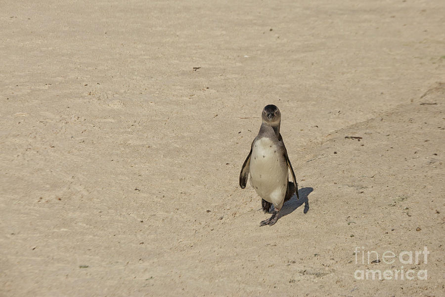 African penguin alone on the beach of Simonstown, South Africa by Patricia Hofmeester