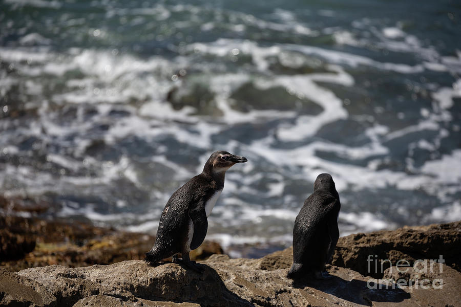 African Penguins at Stony Point by Eva Lechner
