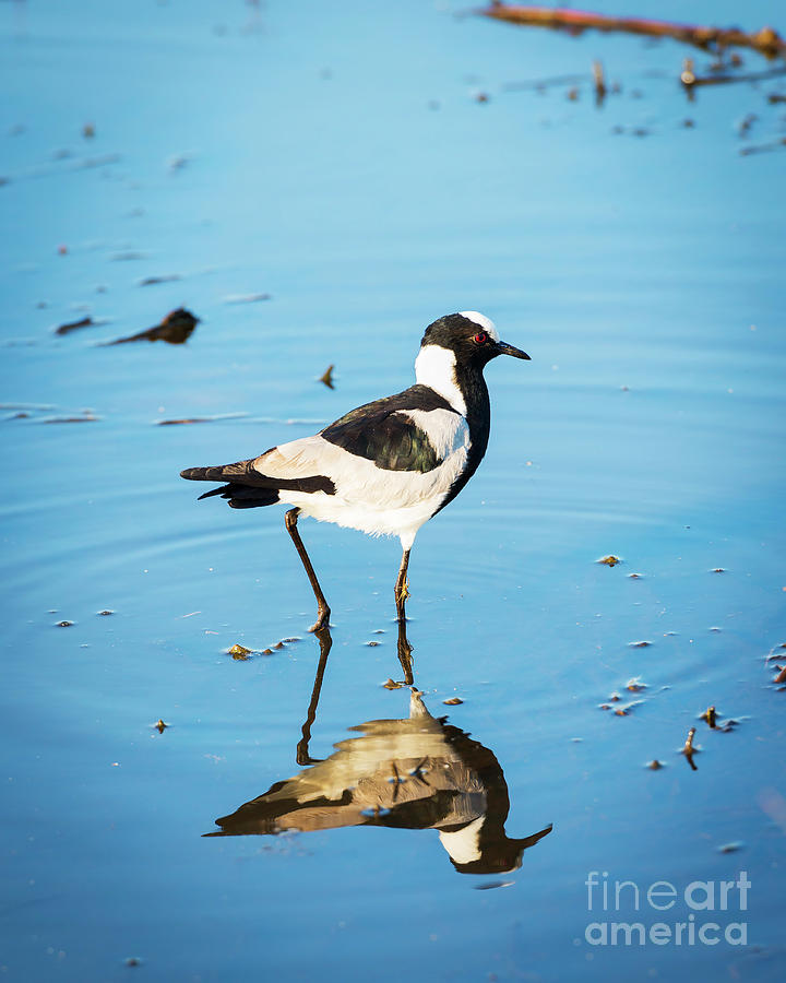 African Pied Wagtail Bird Photograph