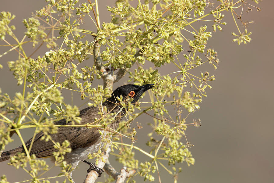 African Red-eyed Bulbul by Belinda Greb