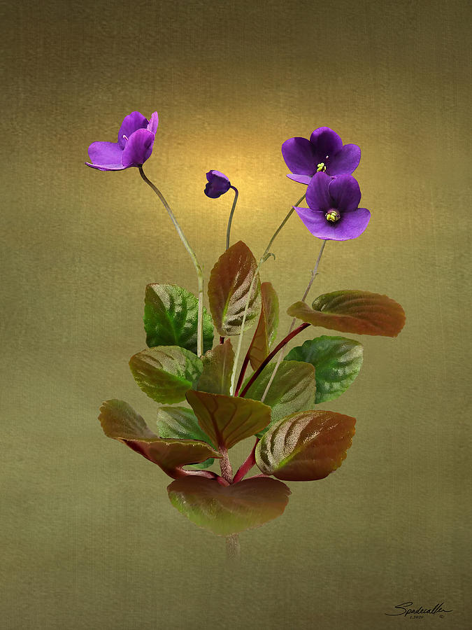 African Violet by Spadecaller
