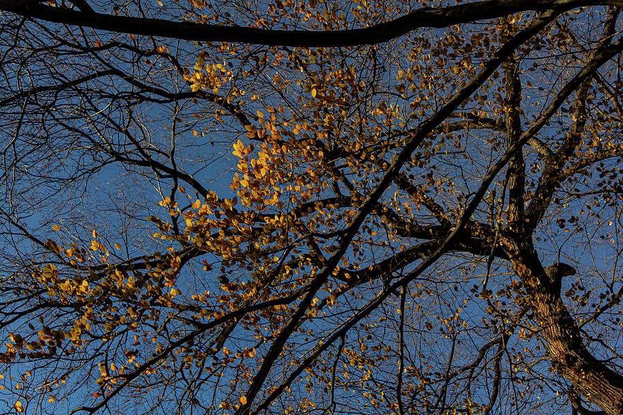 Afternoon Sun on Leaves Late Fall by Robert Ullmann