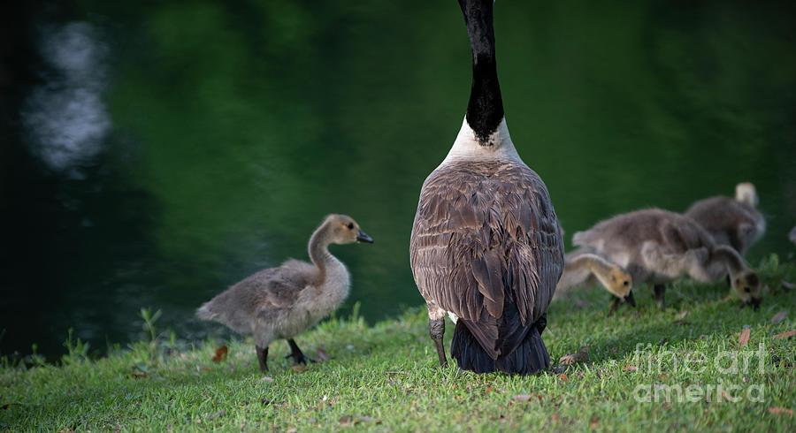 Agnel Wings - Furry Babies - Goslings Photograph