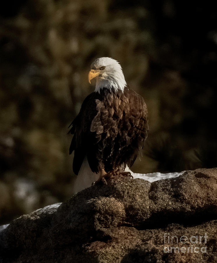 Alert Bald Eagle In Eleven Mile Canyon Photograph