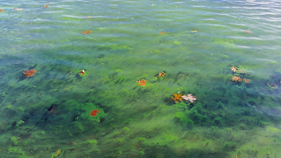 Algae in Lake Water by Ally White