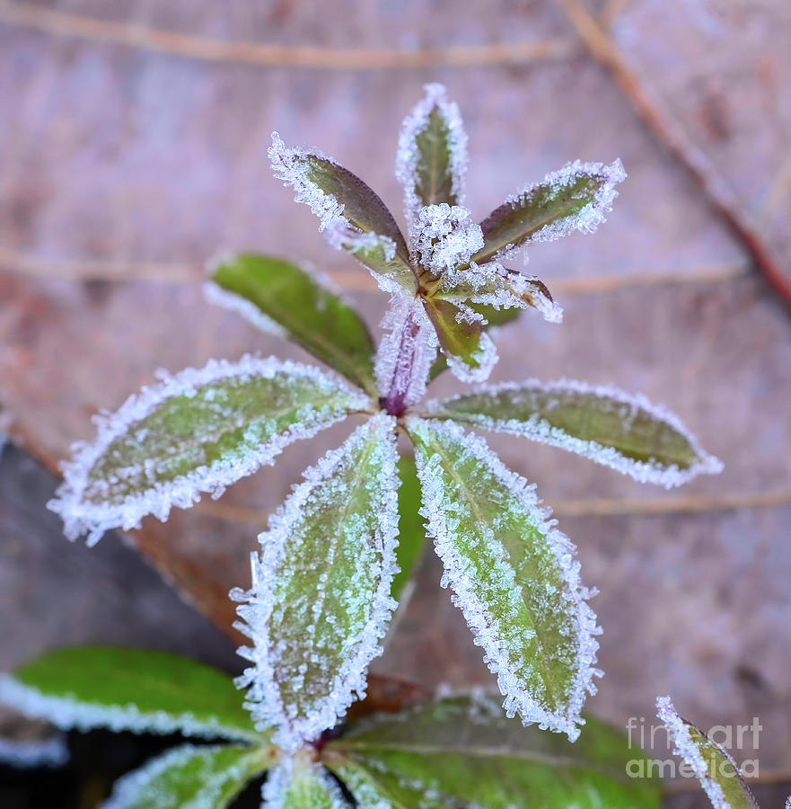 All Dressed Up - Frost On The Leaves Photograph