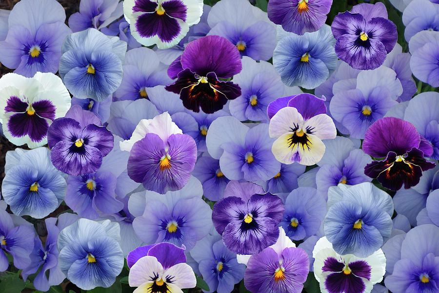 Pansy Photograph - All Violet Pansies - A Collage by Isabela and Skender Cocoli