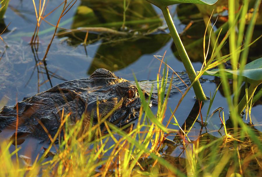 Alligator by Juergen Roth