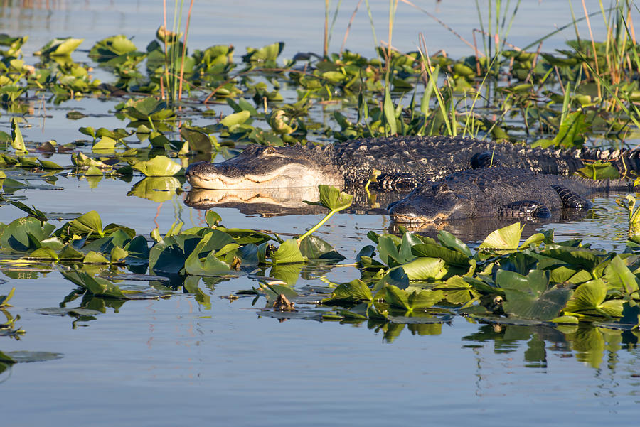 Alligators in Florida pond by Zina Stromberg