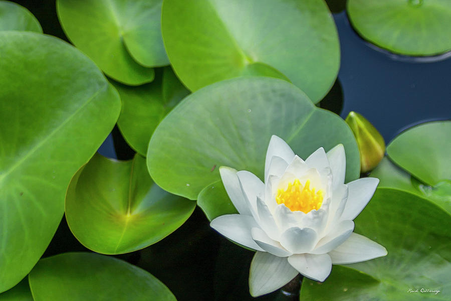 Alone Among Friends 7 Waterlily Lotus Flower Art Photograph