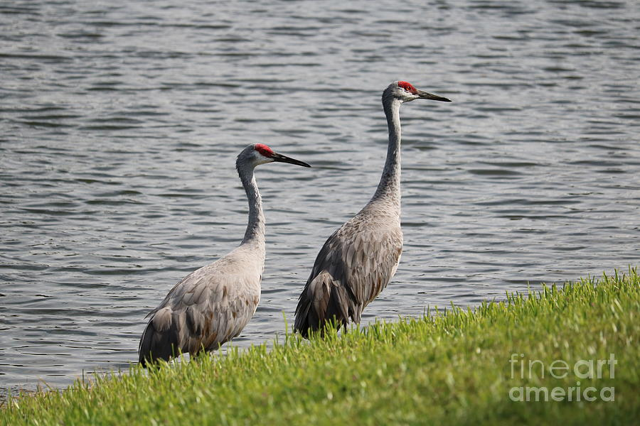 Alone Together Sandhill Cranes Photograph
