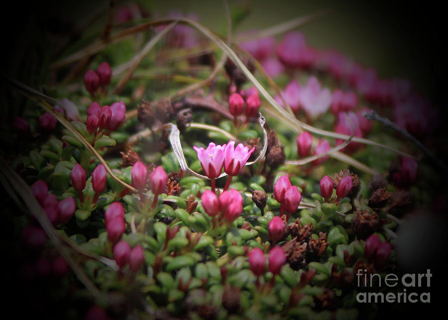 Alpine Azelea Photograph by Ross Coleman