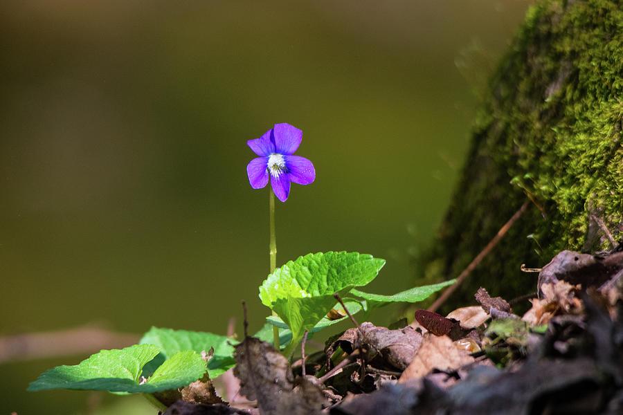 Alpine Violet Photograph