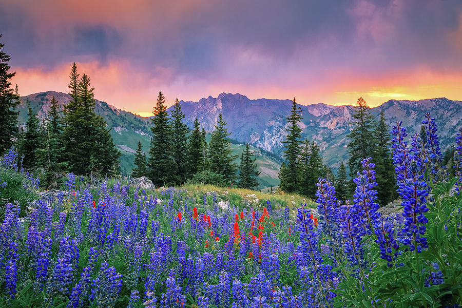 Alta Lupine Sunset Photograph