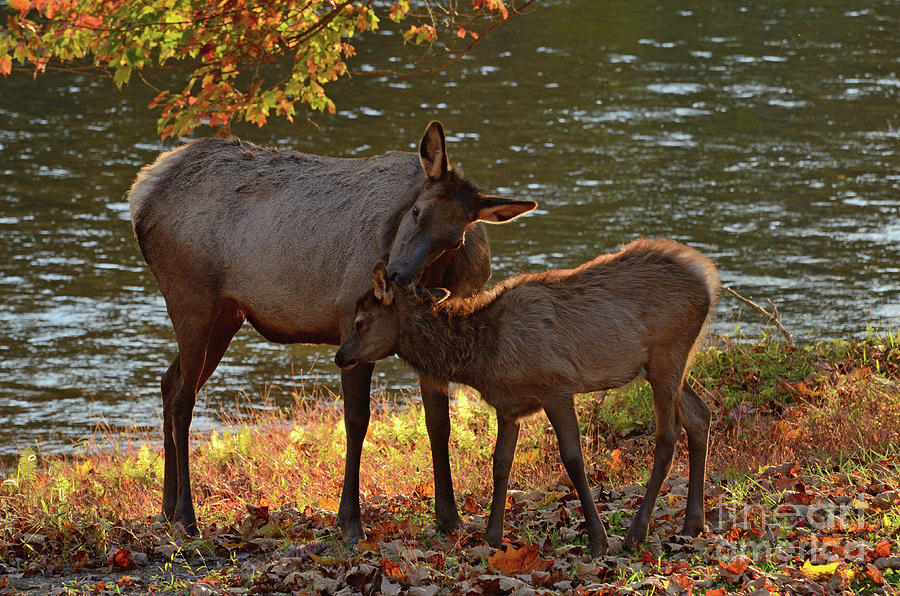 Always Wash Behind Your Ears - Elk Cow and Calf by The Ford Family