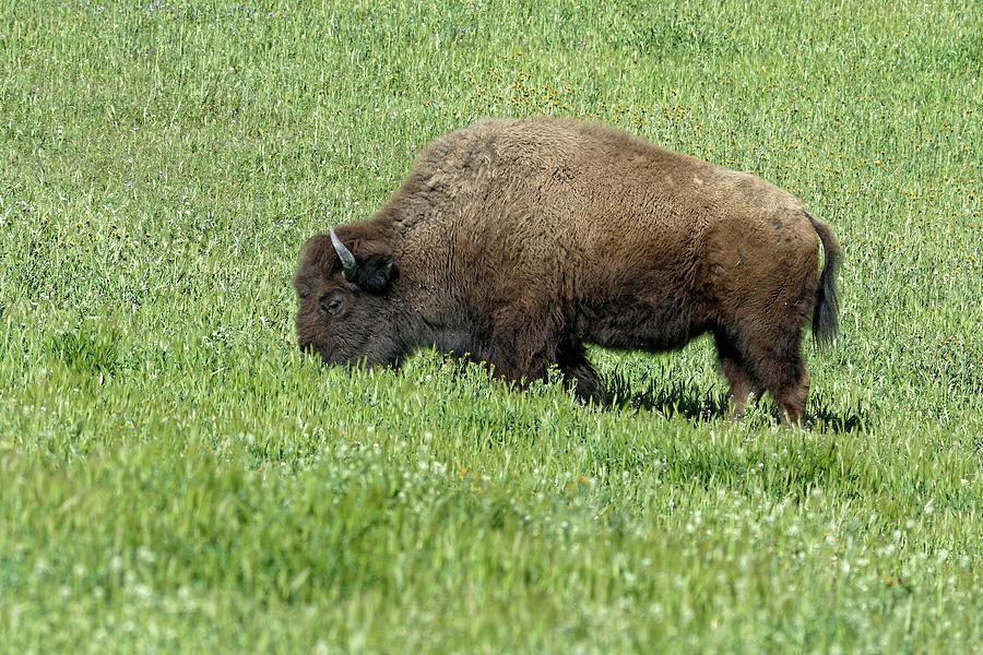 Amazing Graze -- American Bison in Santa Margarita, California by Darin Volpe
