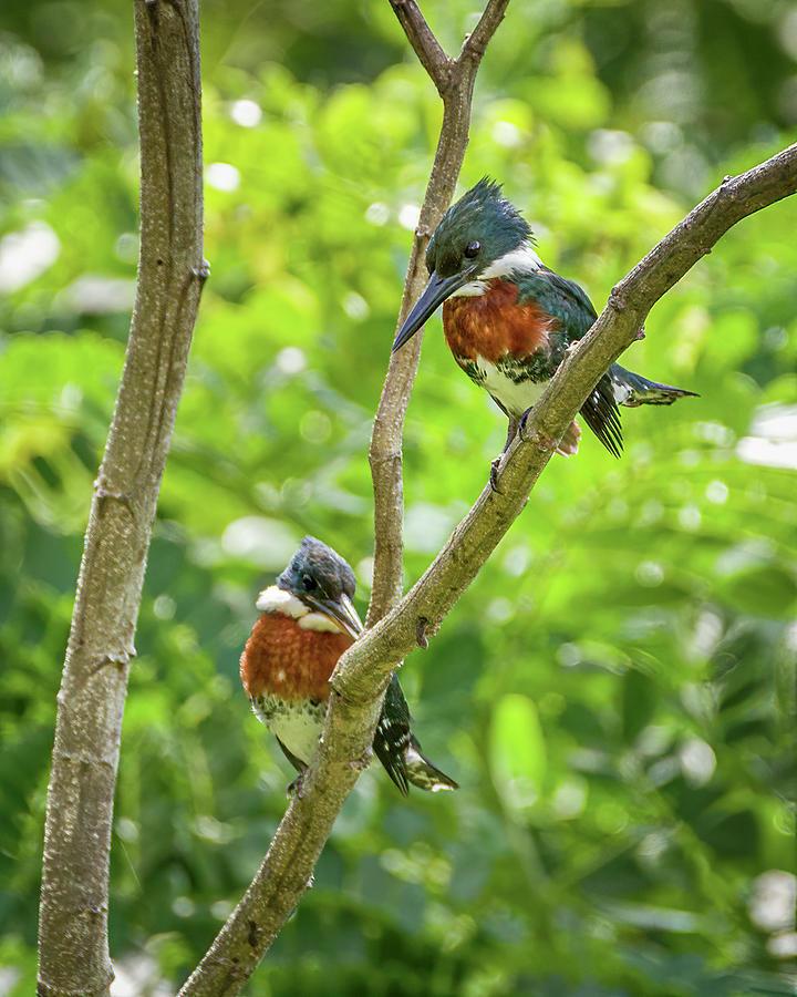 Amazon Kingfisher Hacienda El Triunfo Honda Tolima Colombia by Adam Rainoff