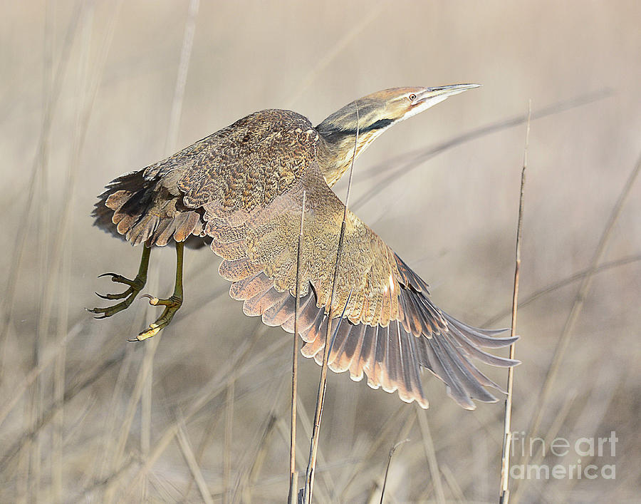 American Bittern On The Wing Photograph