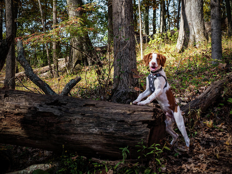 American Brittany Photograph