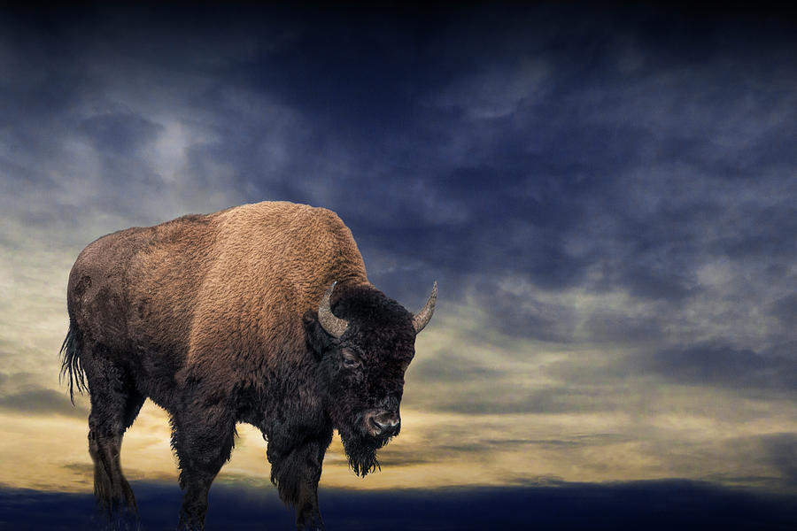 American Buffalo against an Evening Sky by Randall Nyhof