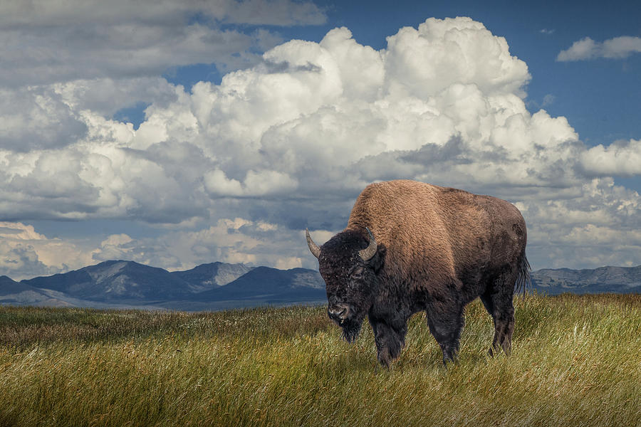 American Buffalo out West by Randall Nyhof