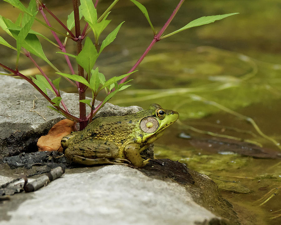 American Bullfrog Photograph