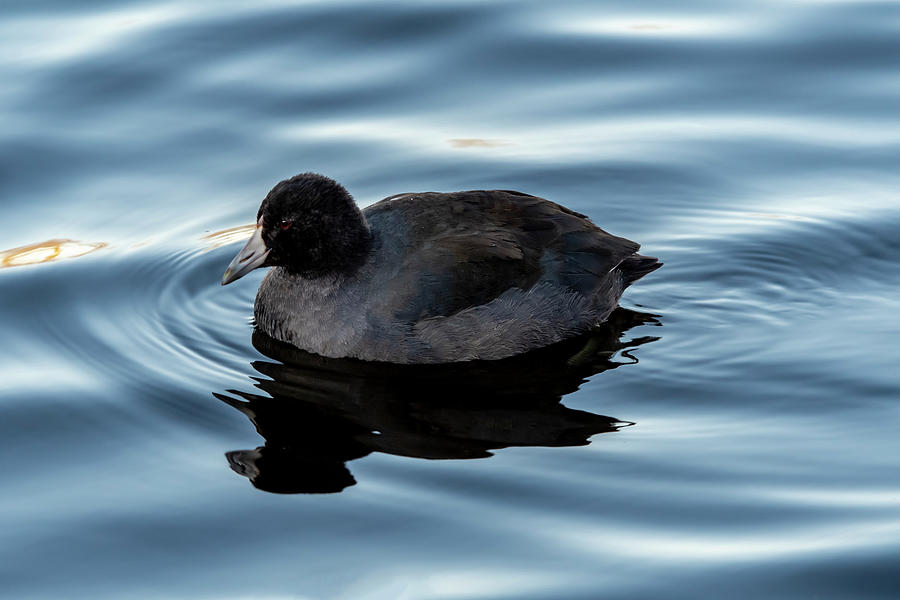 Coot Photograph - American Coot by Cathy Kovarik
