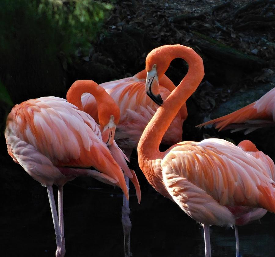 American Flamingo by Carl Moore