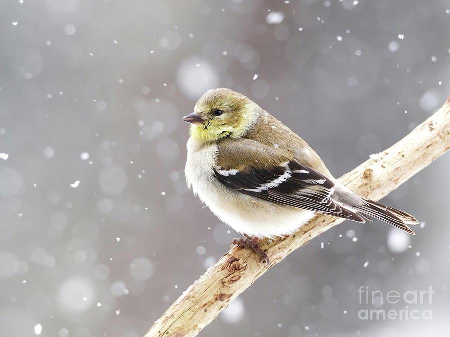 American Goldfinch Bird in Snow by Nikki Vig