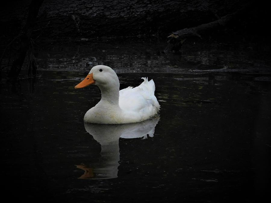 American Pekin Duck by Carl Moore