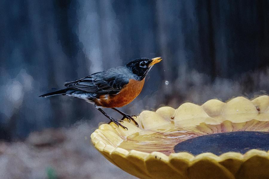 American Robin Photograph - American Robin At Birdbath  by Debra Martz