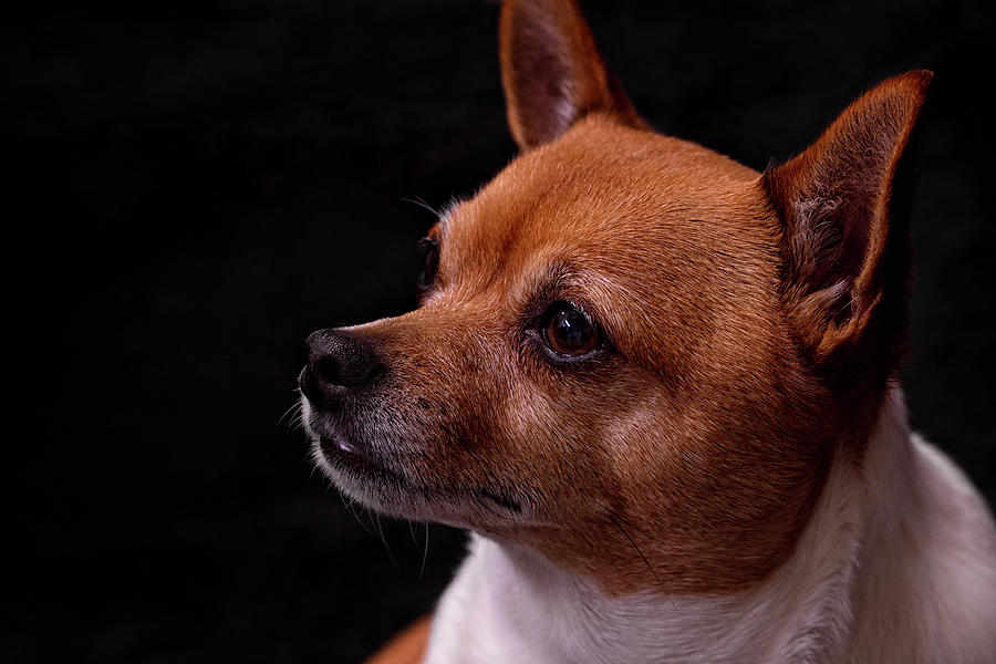 American Toy Terrier Photograph