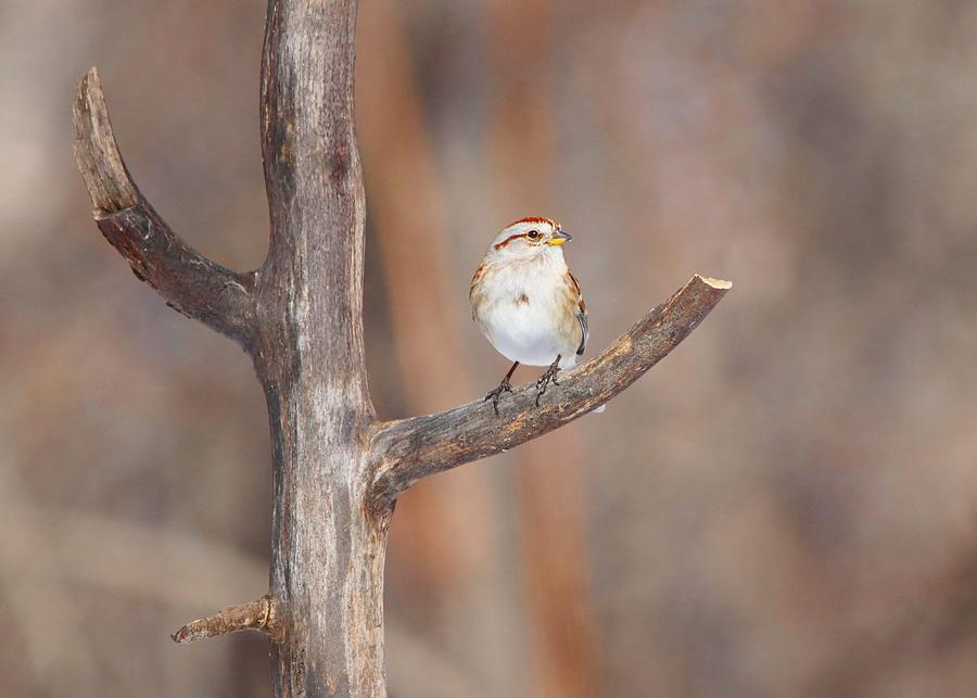 American Tree Sparrow Photograph