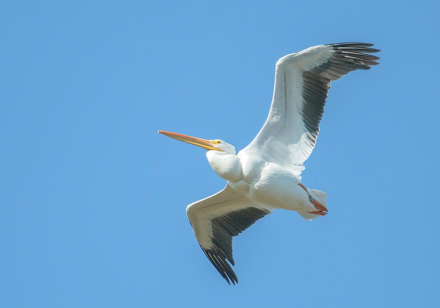 American White Pelican 6109-112319-1 by Tam Ryan
