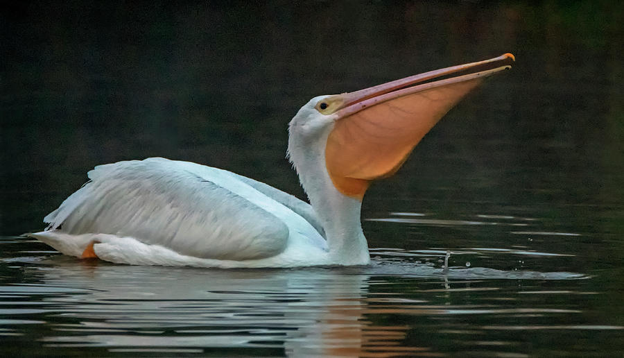 American White Pelican 6182-112419-2 by Tam Ryan