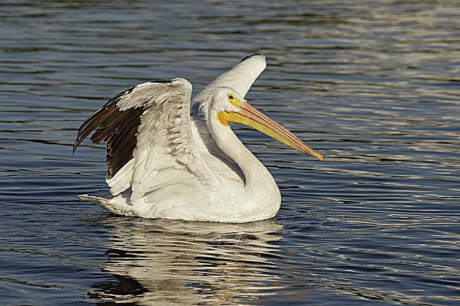 American White Pelican Landing Photograph