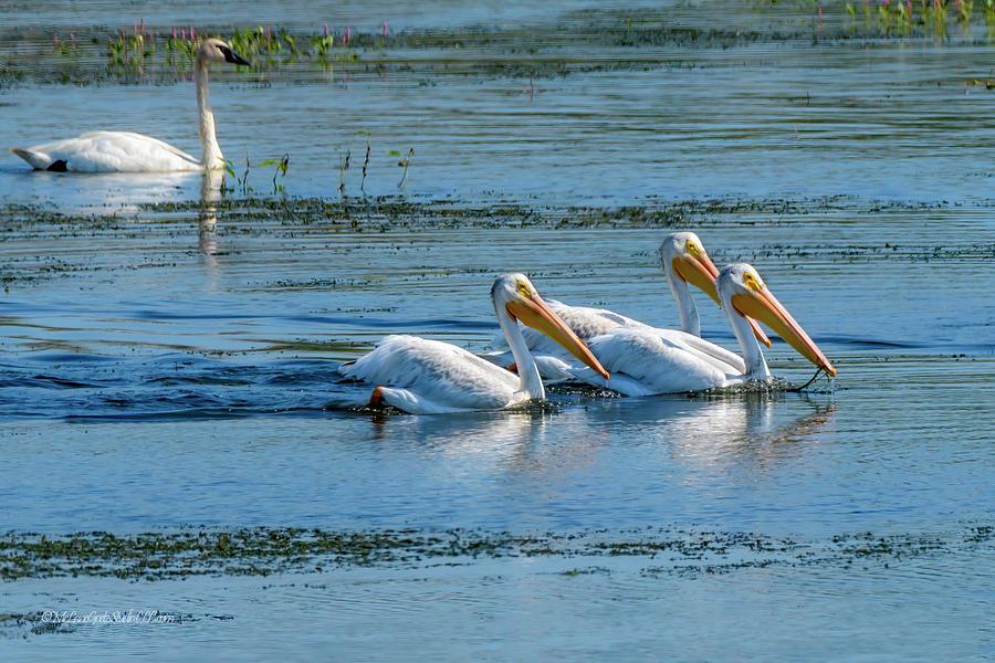 Pelican Photograph - American White Pelican by LeeAnn McLaneGoetz McLaneGoetzStudioLLCcom
