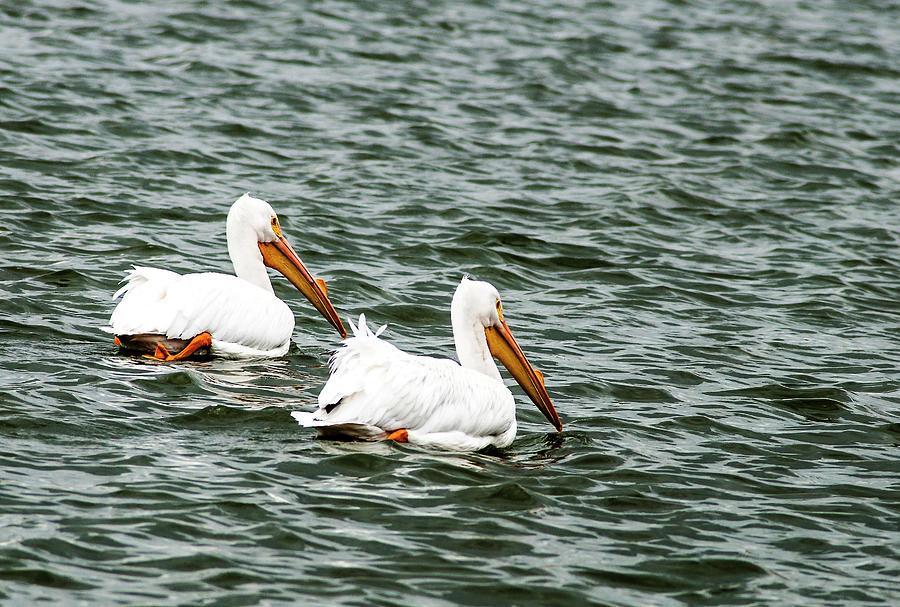 American White Pelican Pair Photograph